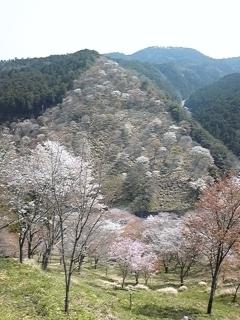吉野山は満開〜ホッとしました〜